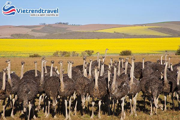 trang-trai-da-dieu-ostrich-ranch-nam-phi-vietrend-travel